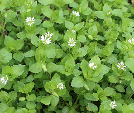 Травы для кожи: звездчатка